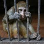 Encierran en una jaula a un mono delincuente por ladrón