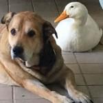El pato que curó la depresión a un perro