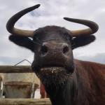 Reúnen 160.000 firmas para pedir el indulto de Margarita, la vaca 'sin papeles'