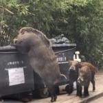 'Pigzilla' el jabalí gigante que ha atemorizado a los hongkoneses
