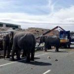 Cuatro elefantes colapsan la A-30 tras volcar el camión que los transportaba
