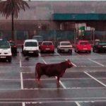 Una vaca de 500 kilos se escapa de Mercabarna y se pasea por Barcelona