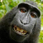 El macaco Naruto consigue el 25% de los derechos de imagen de su selfie
